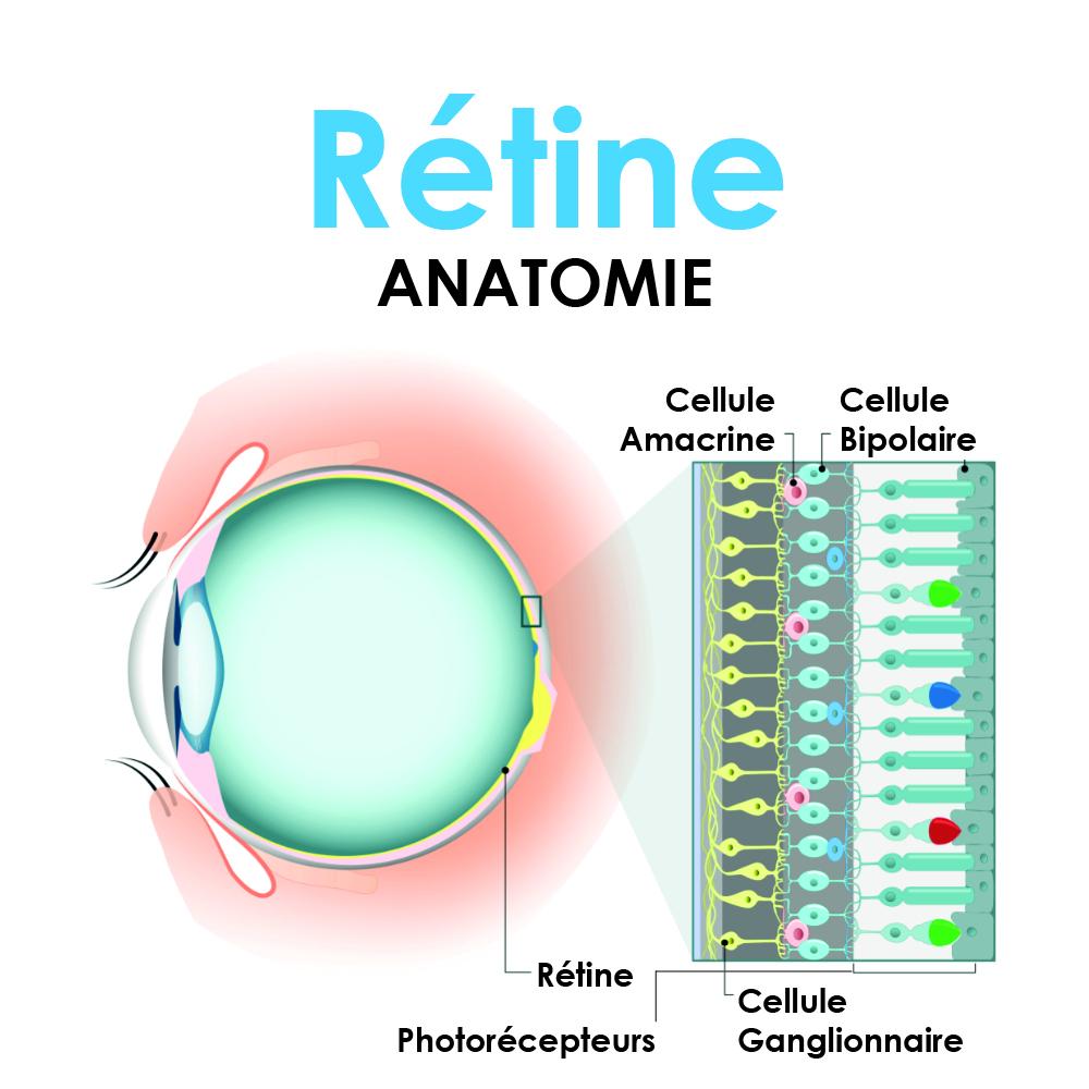 Anatomie de la rétine